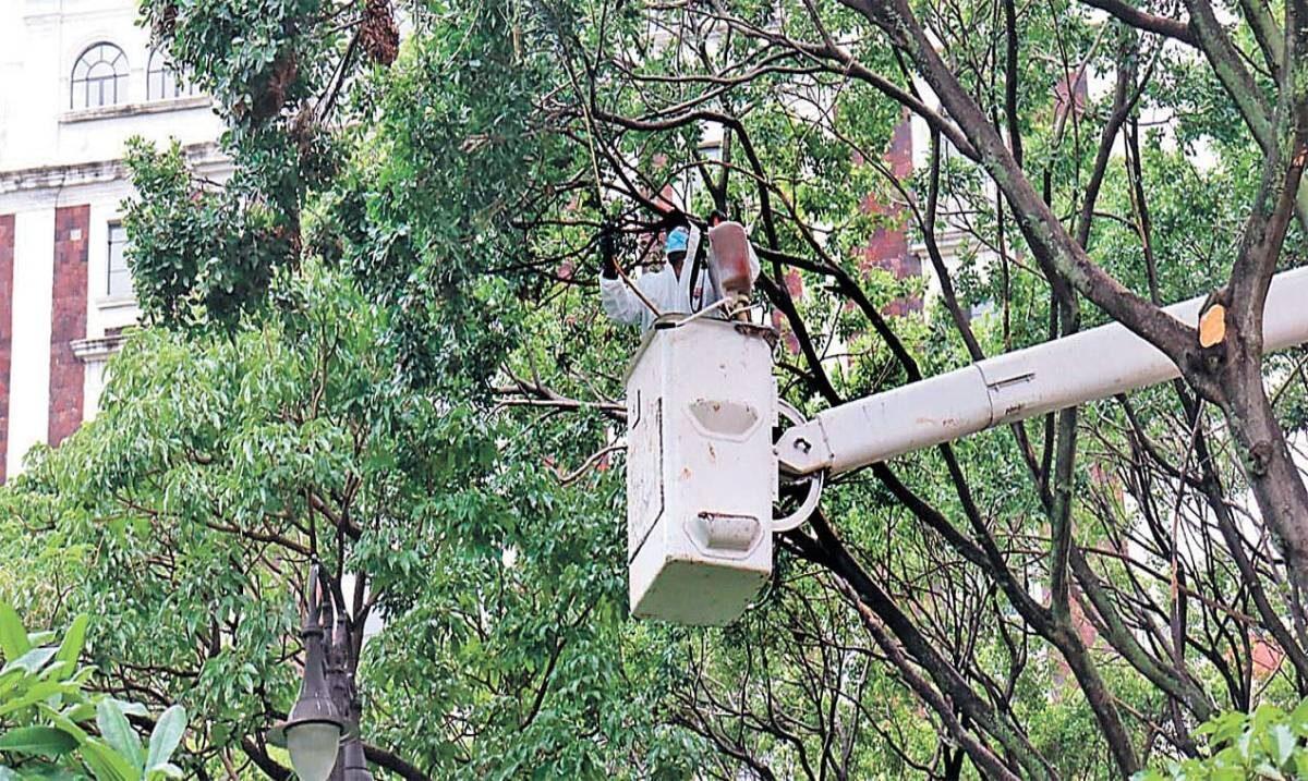 Combaten plaga en el Jardín Juárez ; cierran para podar los árboles